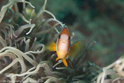 BD-110314-Puerto-Galera-3504-Amphiprion-clarkii-(Bennett.-1830)-[Yellowtail-clownfish].jpg